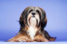 Lhasa Apso - Aprende todo sobre esta querida y amorosa raza - Shih Tzu's and Lhasa Apso's - Shih Tzu, Boxer Puppies, Dogs And Puppies, Lion Dog, Dog Cat, Mountain Dogs, Bernese Mountain, Pet Breeds, Adoptable Beagle