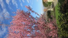 Early cherry trees bloom in February at Dallas Arboretum.