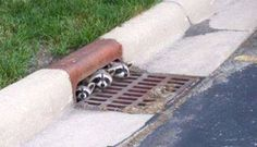 adorable Adorable Cute Animals--- peek-a-boo Adorable Cute Animals, Cute Baby Animals, Animals Beautiful, Funny Animals, Funny Raccoons, Cutest Animals, Wild Animals, Baby Animals Pictures, Funny Animal Pictures
