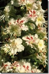 Bach Flower Remedy, White Chestnut
