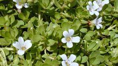 ब्राह्मी को एक पुरानी और गुणकारी औषधि के रूप में जाना जाता है, इस औषधि का इस्तेमाल हमारे ऋषि मुनि और आयुर्वेद के वैद्यों द्वारा हजारों सालों से लगातार किया जा रहा है। इस ब्राह्मी को ठंडी तासीर वाला पौधा माना जाता है इसके कई सारे फायदे होते हैं लेकिन इसका सबसे अधिक उपयोग ब्रेन की पावर बढ़ाने के लिए किया जाता है जिसके कारण हमलोग इसको ब्रेन बूस्टर के नाम से भी जानते हैं। ब्राह्मी के पौधे में कई तरह के फूल जैसे सफेद, गुलाबी और नीले रंग के आते हैं। How To Treat Anxiety, Stress And Anxiety, Anxiety Treatment, Lost, Neurotransmitters, Medical Prescription, Plantation, Medicinal Plants, Gardens