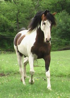 The Spotted Saddle Horse - crossed with Spanish-American type pinto horses with gaited horse breeds (such as the Tennessee Walking Horse) to produce a colorful horse that was smooth gaited and possessed strength and stamina. The breed has a reputation for being gentle and easy to handle, surefooted and agile, good on steep and rough trails.
