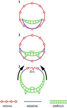 dorsal closure