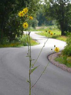 Peltovalvatti - Sonchus arvensis Milk Thistle, Garden, Flowers, Plants, Sweet, Candy, Garten, Lawn And Garden, Gardens