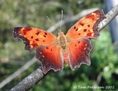 Rare Butterfly Species | Butterfly researchers come to Fermilab for rare species