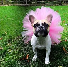 Hot Pink Dog Tutu by BebeDivaWear on Etsy - for fans of Daisy & Josephine