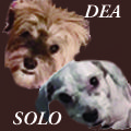 Dea and Solo in FL - a Bonded Pair - are Available for Adoption from HRI NOW (02/2016) http://www.havaneserescue.com/index.php/rescue-dogs/available-for-adoption/1454-dea-and-solo-in-fl