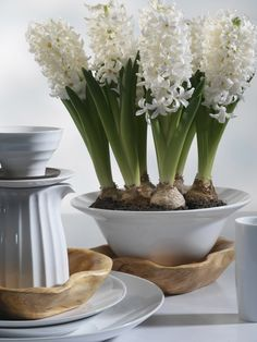 forcing bulbs for indoor blooms - Fedco Bulbs Christmas Flowers, Simple Christmas, Christmas Decorations, Big Flowers, Paper Flowers, Narcisse, Cool Mom Picks, Spring Bulbs, Flower Images