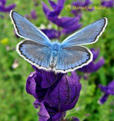 Adonis Blue - Male (Polyommatus bellargus)