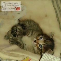 Que me dicen que pose para la foto, pues yo poso! ^.^ 20 días www.le-chat-noir.es #littlecats #gatitos #family #cats #love #animals #gato #chat #lechatnoir contacto@le-chat-noir.es https://www.facebook.com/pages/Le-Chat-Noir-Hecho-a-mano/113710975370328