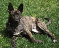 Dutch Shepherd Dog Breed Information and Pictures
