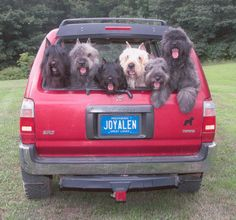 A carload of bouvier des Flanders! Omg!  How pretty!