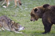 Wolf vs Bear picture 1 on in Animal vs Animal Forum Black Bear, Brown Bear, National Geographic, Wolves Fighting, Indian Animals, Baby Wolves, What A Beautiful World, Wolf Love, Bear Pictures