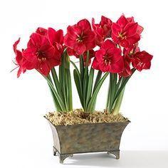 A Amarílis é também conhecida como Açucena ou Flor-da-Imperatriz é uma planta que produz uma flor imponente que atrai todos os olhares. É id...