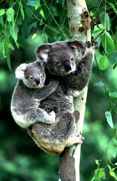 Koala carrying her 8 month old cub on her back in a Eucalyptus tree, Australia mammals Baby Koala, Baby Otters, Cute Baby Animals, Animals And Pets, Funny Animals, Australian Animals, Tier Fotos, Animal Photography, Family Photography