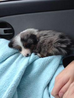 Blue Merle Australian shepherd puppy #cutie
