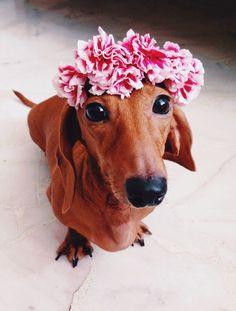 Dachshund:  I am a Hawaiian babe!