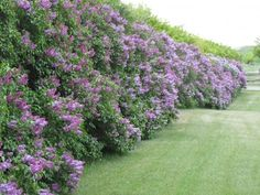 Lilac Hedges! Incredible! I had no idea that lilacs could grow like that.