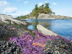 purple starfish at Winter Cove, Saturna Island, Southern Gulf Islands, BC