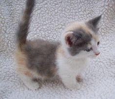Calico Munchkin kitten
