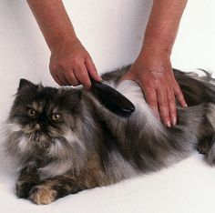 cat hair shedding
