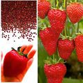 Giant Red Strawberry Seeds, Garden Fr...