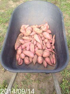 This years Sweet Potato crop