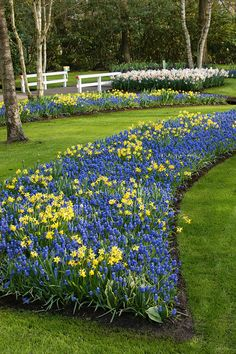 Elegant Blau Gelbe Blumenzwiebel Kombination Aus Traubenhyazinthen (Muscari), Ud  Narzissen (Narcissus