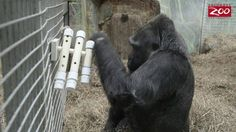 Wildlife and Wild Places with Tom Stalf - Gorilla Enrichment - one of my favourite :-)