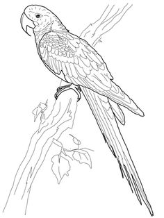 Hyacinth Macaw Coloring Page From Category Select 27252 Printable Crafts Of Cartoons Nature Animals Bible And Many More