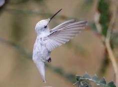 Rare White Hummingbird Steals the Spotlight at California Garden | Audubon