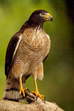 Roadside Hawk (Rupornis magnirostris)  Copyright © Csaba Godeny