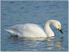 Tundra Swan Migration
