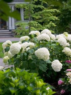 Hydrangea plants provide shrubby backgrounds of lacy blooms all summer long. Like most flowering plants, pruning hydrangeas can help the plants stay healthy. Incrediball Hydrangea, Hydrangea Macrophylla, Hortensia Hydrangea, Pruning Hydrangeas, Types Of Hydrangeas, Hydrangea Landscaping, Landscaping Ideas, Backyard Landscaping, Landscaping Software