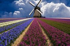 Holland - windmills and flowers