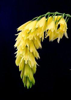 ^Orchid Cymbidium elegans ~ 'Atlantis'....