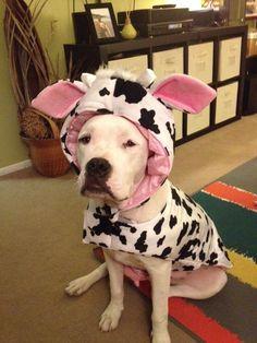 Dobie American bulldog Halloween costume #Americanbulldog