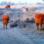 Film: Kampina is koud voor Franse runderen