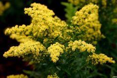 Solidago 'Little Lemon' - Little Lemon Goldenrod Leaf Flowers, White Flowers, Morton Arboretum, Variegated Plants, Foliage Plants, Drought Tolerant, Perennials, Planting Flowers, Highlights