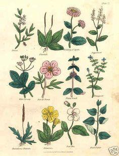 Botanical 1816: Herbal Medicine. Culpepper #22 Antique print. Primroses Etc