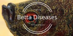 A list of the most common Betta fish diseases with pictures of each disease included. Has anyone ever dealt with any of the more serious ones?