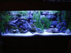 55+gallon+fish+tank+ideas | cichlids.com: 55- Gallon-Afra Tank-Kingsizei