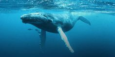 Whales rely on sound to survive. Seismic surveys in the ocean are a major problem for these creatures.  (3188 signatures on petition)