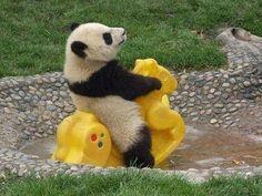 Panda - Calaretul singuratic