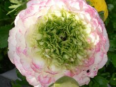 Ranunculus asiaticus (Persian Buttercup)  by Luigi Strano: This species of buttercup (Ranunculus), native to the eastern Mediterranean, is a herbaceous perennial plant growing to 45 cm tall, with simple or branched stems and 3-5cm flowers variably red to pink, yellow, or white. http://en.wikipedia.org/wiki/Ranunculus_asiaticus  #Photograph #Persian_Buttercup