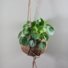 Pilea peperomioides 'Hanging pot' - Chinese money plant / missionary plant