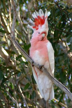 Major Mitchell Cockatoo - Also known as Pink Cockatoo. This is one of six found at the old telegraph ruins at Eucla (Just inside the WA border) on the Nullabor Plain. They were perched, high up in the only tree for hundreds of kilometres. Cute Birds, Pretty Birds, Beautiful Birds, Animals Beautiful, Colorful Animals, Colorful Birds, Tropical Birds, Exotic Birds, Cute Creatures