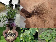 Medicinal Rice Formulations for Diabetes Complications, Heart and Kidney Diseases (TH Group-94) from Pankaj Oudhia's Medicinal Plant Database