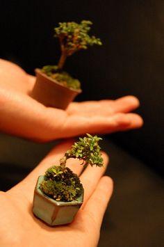 mame bonsai 豆盆栽