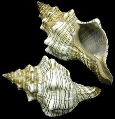 Striped Conch Shells by Diana Cheatam-Leyh Shell Shock, Shell Collection, Snail Shell, Shell Beach, Nautilus, Ocean Life, Sea Shells, Conch Shells, Marine Life